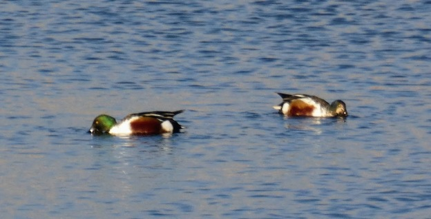 Shelducks feeding.