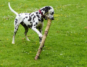 This is Brian, who's moved on from living with my daughter's family. As a puppy, he was keen on sticks.