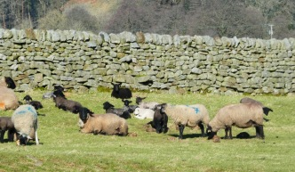 White mums, black lambs.
