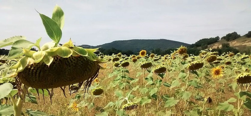 I wish those alien leaves poking above the dead sunflower in Leran, France weren't in the shot. This is a photo that's not quite successful, technically, but It's a shot I'd like to try again, because for me it's very evocative of the place where it was taken.