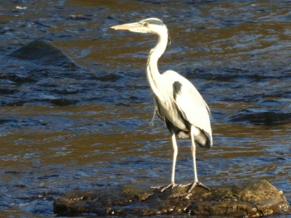 We often see herons ...