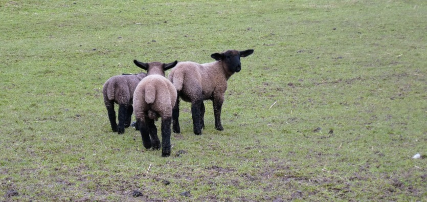Teenage lambs.