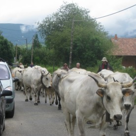 Cattle trudge patiently down the road ...