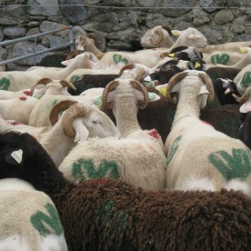 Sheep wait patiently in the market square.