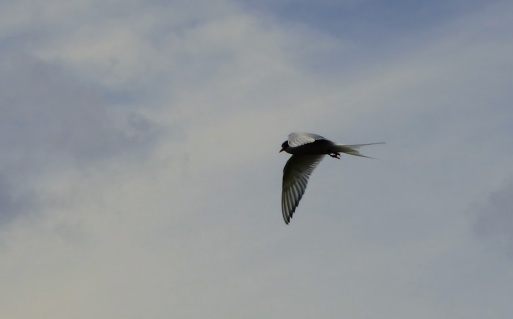 Arctic Tern at the Farne Islands.