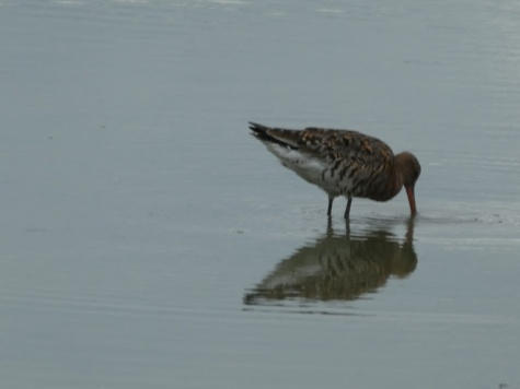 Godwit at Slimbridge.