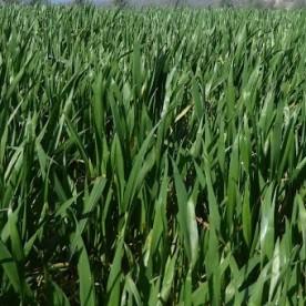 Spring crops.