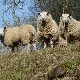Sheep - always sheep round here .. near Masham ...