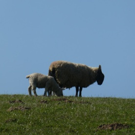 ... near Tanfield, with her lamb ...