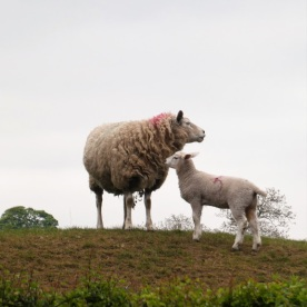 ...and another sheep and lamb in Tanfield.