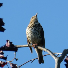 This thrush was our constant background summer during the month of May.