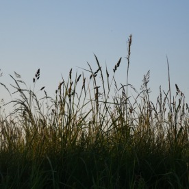 Spring grasses in a field near West Tanfield.
