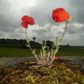 Poppies sneak a prime spot on the bridge at West Tanfield.
