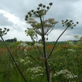 And cow parsley ... everywhere.