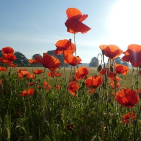 Whereas these poppies were where they ought to have been, edging a field of Barley in West Tanfield.