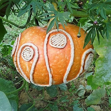 Scoring patterns on a still-growing pumpkin delivers results like this as it matures.  Le Jardin Extraordinaire again.