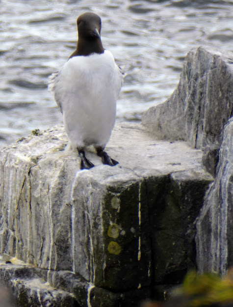 As I didn't have a suitable photo, this guillemot on the Farne Islands will have to stand in for a penguin in Argentina.
