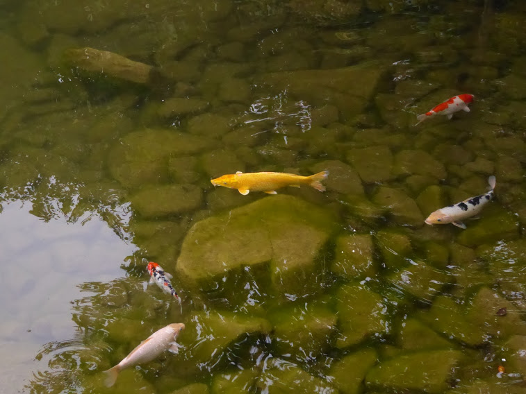 I've a feeling this is a carp, not a goldfish.  And it's a carp in  pond in South Korea, rather than a goldfish in a bowl.